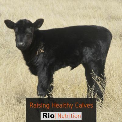 Rio - Raising Healthy Calves